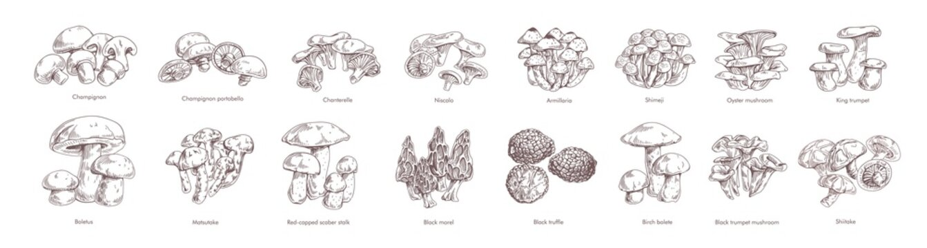 Collection of different realistic edible mushrooms in monochrome style. Set of various engraved seasonal fungi vector graphic illustration. Types of vegetarian organic food