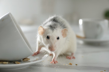 Stores photo Fleur Rat near dirty dishes on table indoors, closeup. Pest control