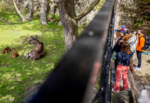 Aelsa the elk is pictured with her newborn calves at Slottsskogen Zoo in Gothenburg