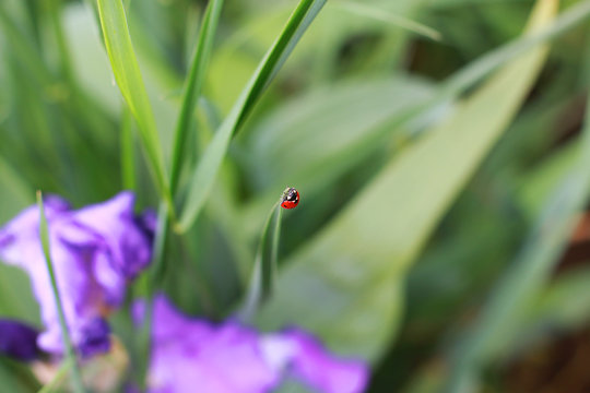 red ladybug on a blade of grass soaring into the sky