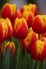 Red and yellow fresh tulip flowers