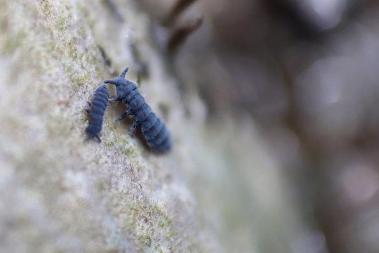Springtail on rock
