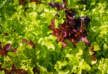 Close-up of clusters of healthy green and red leaf lettuce is easy to grow in a community garden.