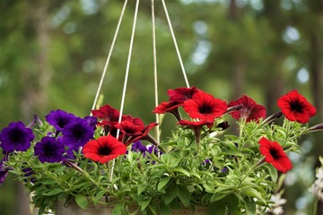 Fototapeta Purple or violet and red surfinia or petunia flower in bloom in the metal pot on the background of green garden, Spring in GA USA obraz