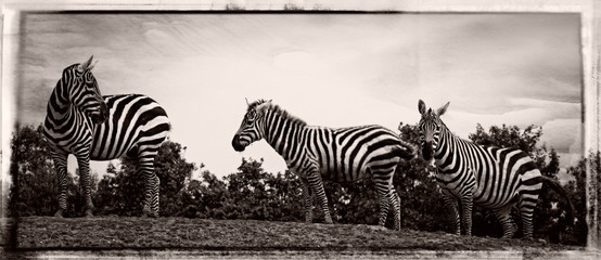 Wall Murals Zebra Panoramic View Of Zebras On Field Against Sky
