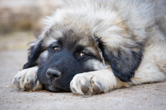 Ein Hundewelpe entspannt sich, 8 Wochen alt