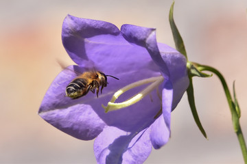 Honey bee flying into purple flower, nature photography shallow depth of field