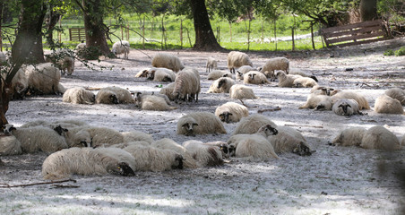 Flock of sheep in a corral
