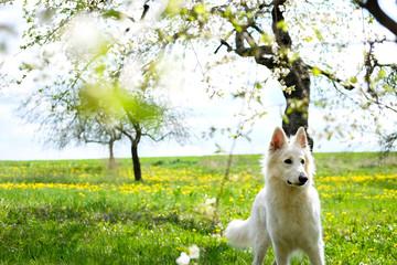 White swiss shepherd in a garden