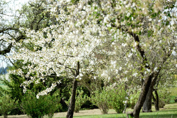 Beautiful cherry trees in blossom