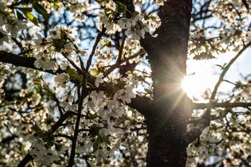Sun star in a cherry tree in bloom