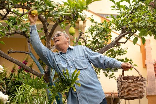 Uomo Anziano con camiciaio jeans raccoglie dei limoni dall'albero nel  giardino  di casa sua