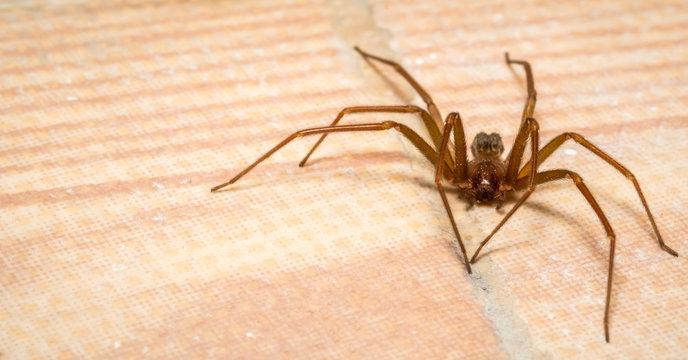 Brown recluse spider lurking