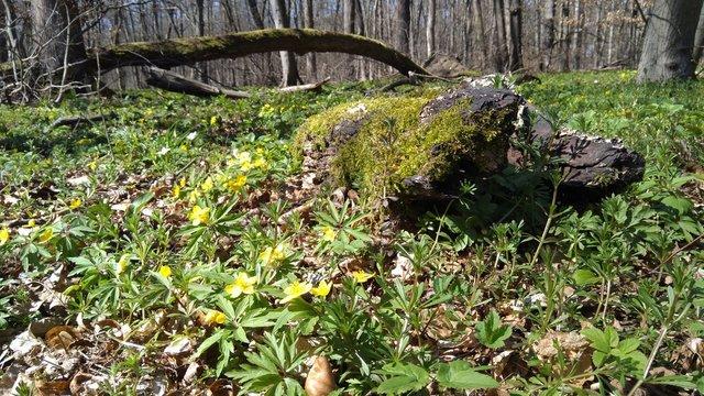 Buschwindröschen im Wald im Frühjahr