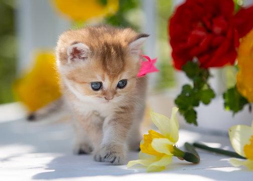 Little scottish kitten among flowers in summer.