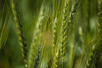 Foto auf Gartenposter Pistazie Close up view of young green wheat in a wheat field on a farm in the Swartland region in the western cape of south africa