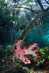 A vibrant soft coral colony grows on the edge of a mangrove forest in Raja Ampat, Indonesia. This remote, tropical region within the Coral Triangle is known for its incredible marine biodiversity.