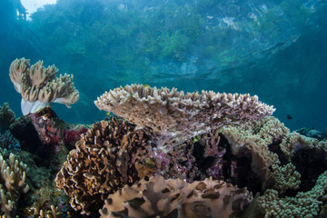 Shallow, healthy corals grow along the edge of limestone islands in Raja Ampat, Indonesia. This remote, tropical region within the Coral Triangle is known for its incredible marine biodiversity.