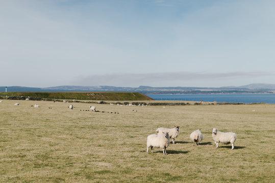 Troupeau de moutons cheviot en Ecosse, en bord de mer