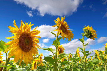Sonnenblumen im Sommer