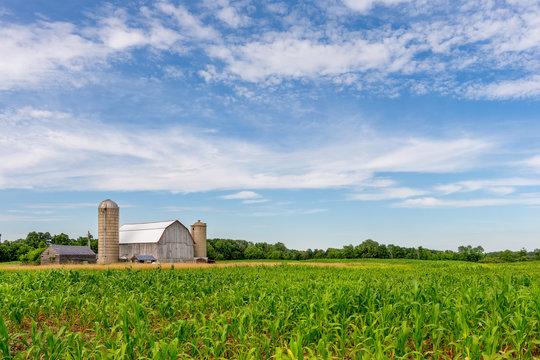 White Barn in Corn Field with Blue Sky