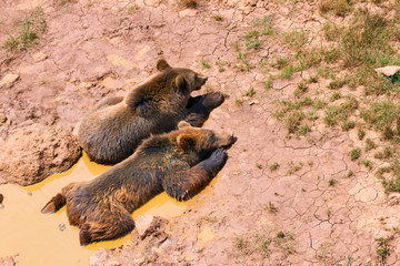 Wall Mural - bears cooling off in a puddle