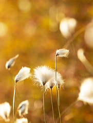 Gentle cotton grass growing in the swamp