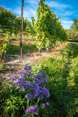 vineyard on a sunny day