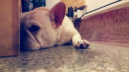 French Bulldog Relaxing On Floor At Home
