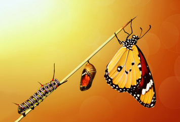 Ingelijste posters Vlinder Amazing moment ,Monarch Butterfly, pupae and cocoons are suspended. Concept transformation of Butterfly