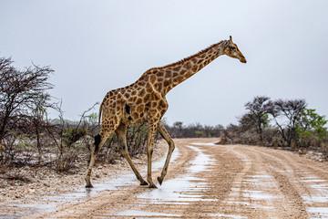 Poster Giraffe A giraffe grazes in the plains near Halali