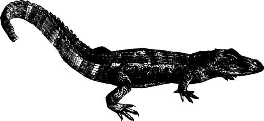 Little Baby River Alligator Vintage Vector Drawing