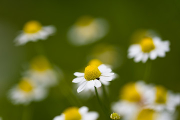 Tuinposter Madeliefjes Field of chamomile flowers in the nature