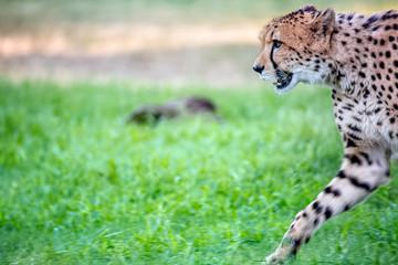 Cheetah Walking Into Frame