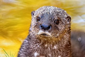 Closeup Cute Wet Otter