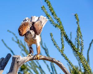 Ferruginous Hawk Perched on Tree Branch