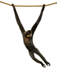 Gibbon Monkey Swinging From Rope Isolated