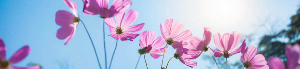 Papiers peints Univers Closeup nature view of beautiful pink flower cosmos on blurred background in garden with copy space using as summer background natural flower plants landscape, ecology, fresh cover page concept.