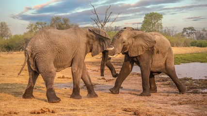 Aluminium Prints Elephant Two male African elephants (Loxodonta africana) display aggression beside a river in northern Botswana.