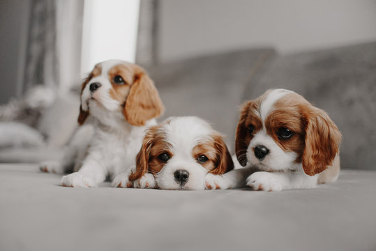 three cavalier king charles spaniel puppies lying on a bed indoors
