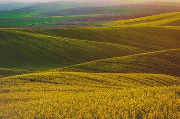 Rapeseed yellow green field in spring
