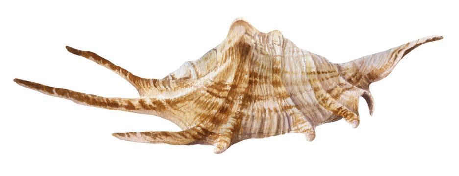 trumpet shell (horagai) | Traditional music, Japanese history, Japanese  names