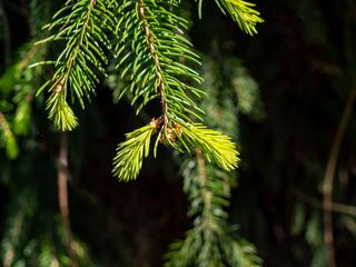 frische Triebe eines Nadelbaumes