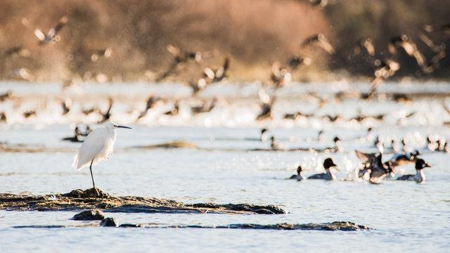 Snowy egret or heron (Egretta thula) on the Sacramento River, California