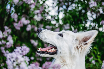 Beautiful portrait of a white swiss shepherd with a blossom background
