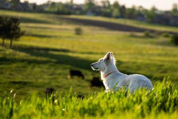 White swiss shepherd in a countryside roaming in the fields