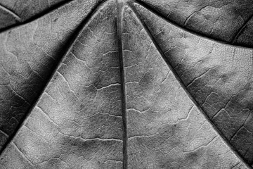 dry maple leaf monochrome macro
