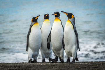 Four king penguins together on sandy beach