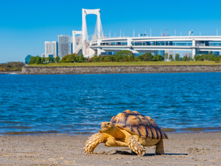 Japan. Turtle close-up. Turtle on the background of Tokyo Bay and Rainbow bridge. Marine animal. A symbol of slow but steady movement. Fauna of the world. Pet. Nice meeting in Tokyo. Wall mural