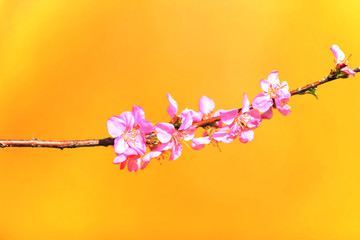 the plum trees bloom, Peach blossoms in bloom